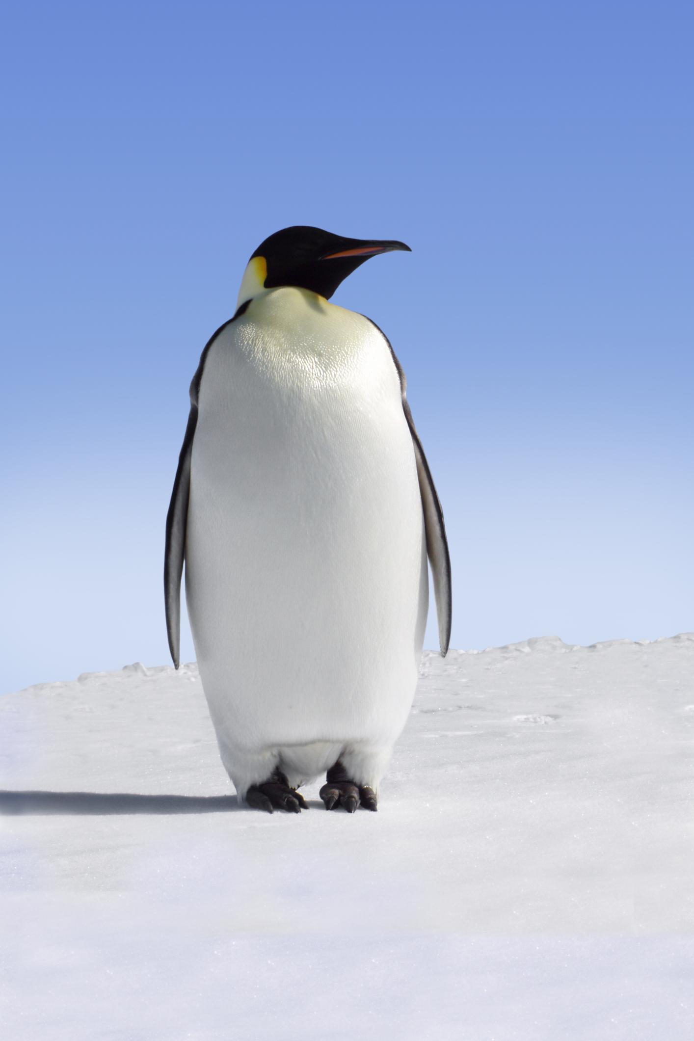 emperor-penguin-aptenodytes-forsteri